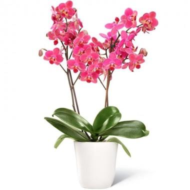 Pianta Orchidea a Due Rami