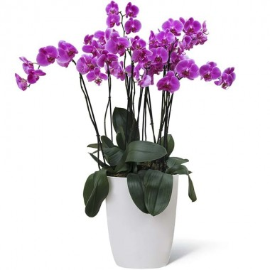Pianta Orchidea Grande