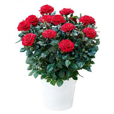 Pianta Rose Rosse